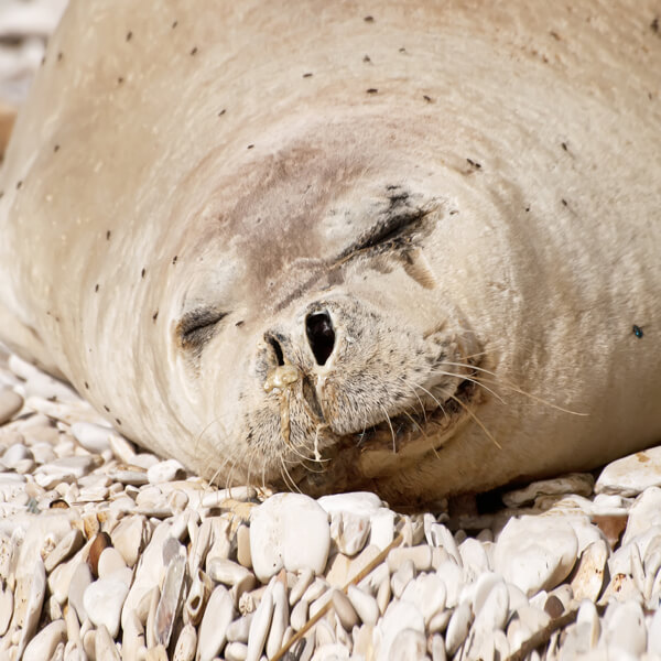 Mediterranean monk seal relaxing on pebble beach.