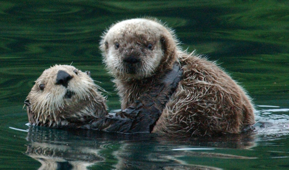 Northern Sea Otter Mom with her pup in the water.