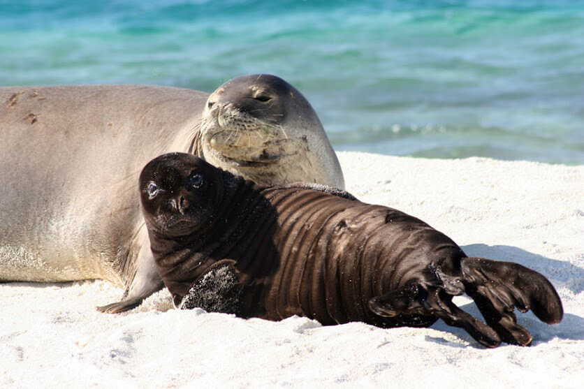 Hawaiian monk seal and pup on beach.