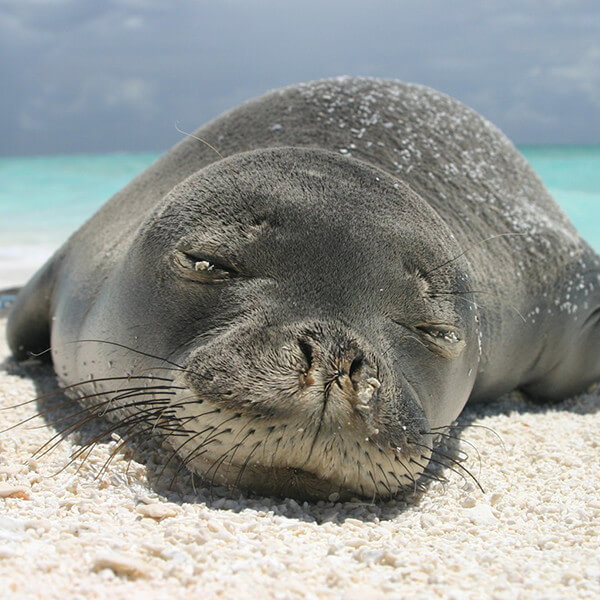 Hawaiaan monk seal