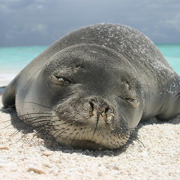 Hawaiian Monk Seal - Marine Mammal Commission