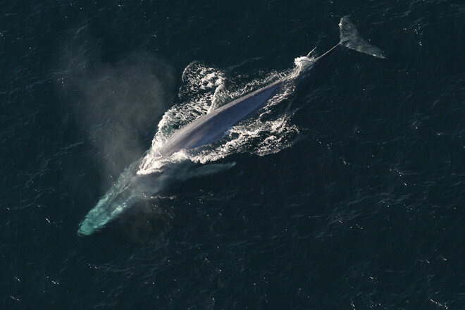 Aerial image of blue whale.