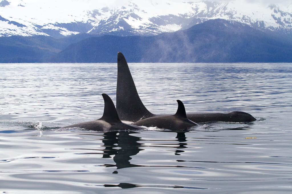 Killer whales swimming with mountains in the background.