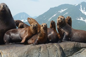 Steller sea lions range along the North Pacific Rim from northern Japan to California image