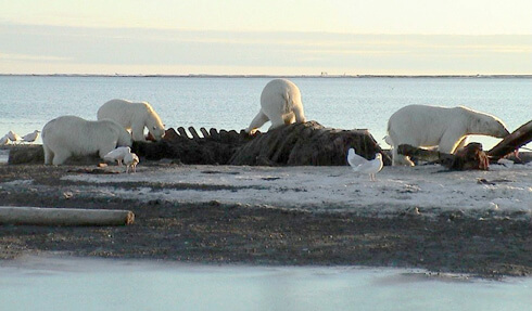 "Image of polar bears feeding on ""bone pile""."