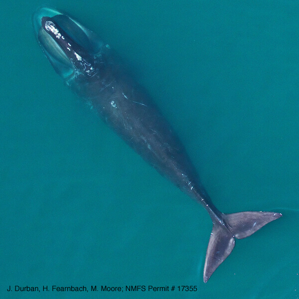North Atlantic Right Whale in Cape Cod Bay