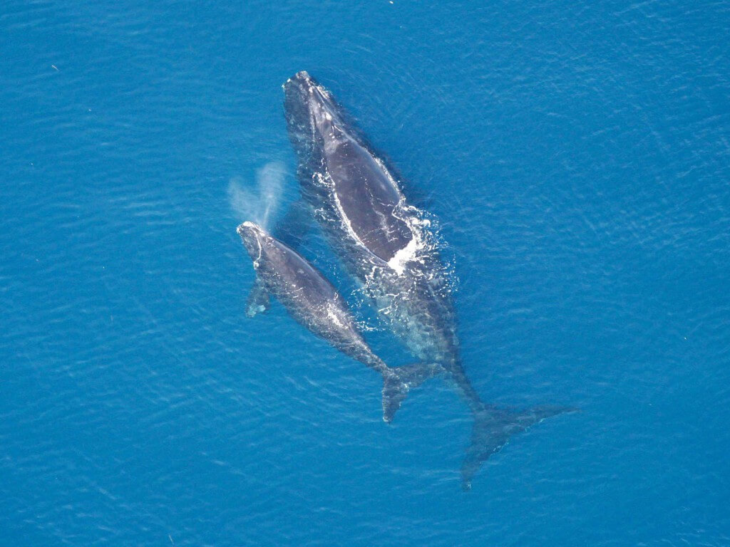 Aeiral photo of right whale and calf.