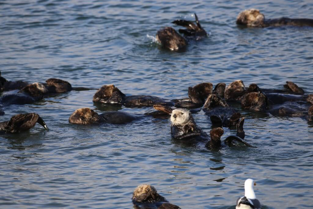 Image of sea otters in water.
