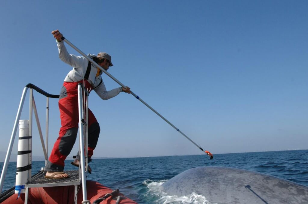 Researcher tagging blue whale.