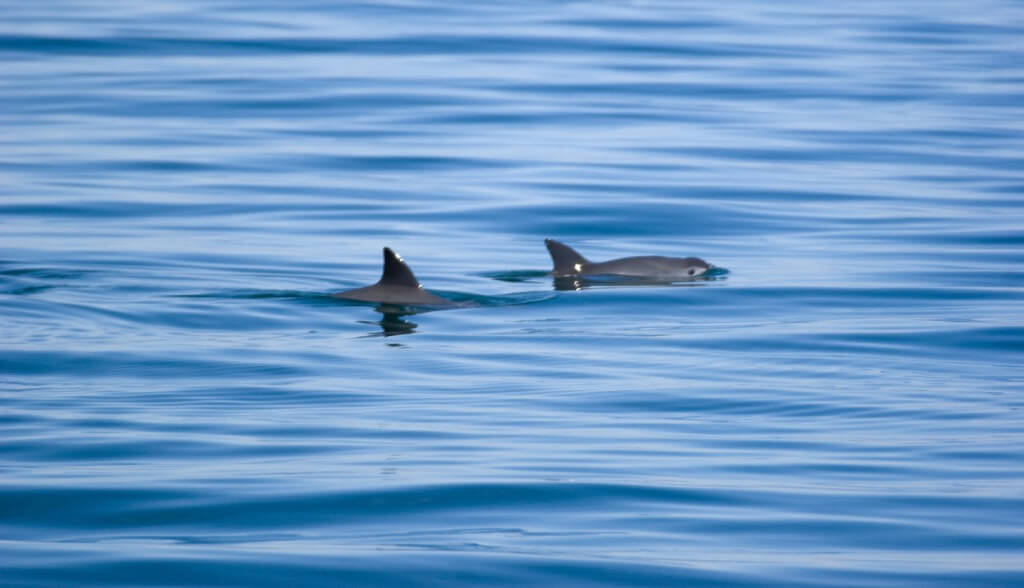 Image of vaquitas swimming in the Gulf of California.